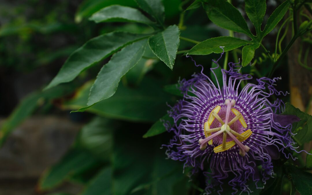 Calming Passionflower