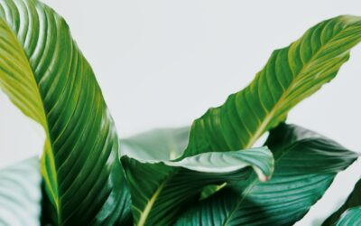 Chlorophyll For Health